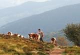 le vacher
