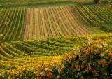 le vignoble de Wolxheim
