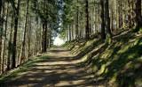 la forêt de sapins