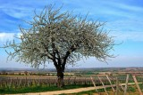 le vieux cerisier