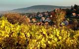 Rosenwiller, golden vines