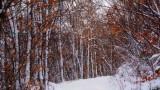 winter forest - Bernardvillé
