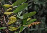 Bulbophyllum sandersonii. Closer.