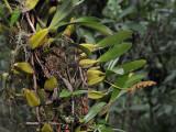 Bulbophyllum sandersonii.