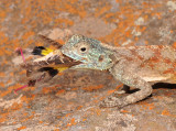 Agama aculeata with lunch. Closer.