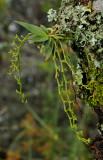 Mystacidium flanaganii