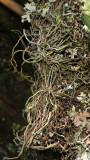 Mystacidium sp.