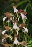 Himantoglossum comperianum.  Almost white form.