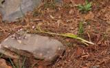 Himantoglossum comperianum. Dug out for salep.
