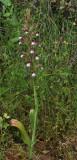 Himantoglossum comperianum