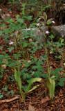 Himantoglossum comperianum. Two small plants.