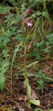 Himantoglossum comperianum. Small plant.