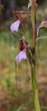 Himantoglossum comperianum. Close-up.