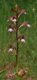 Himantoglossum comperianum. Closer.