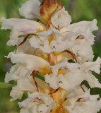 Orobanche sp. Close-up.