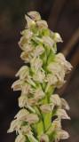 Neotinea maculata. Closer.