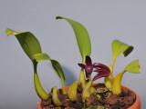 Bulbophyllum elevatopunctatum