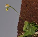 Bulbophyllum korthalsii