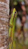 Phelsuma borbonica. Close-up.