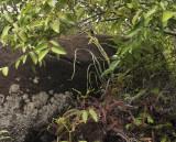 Vanilla phalaenopsis.
