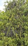 Vanilla phalaenopsis