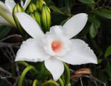 Vanilla phalaenopsis. Close-up.