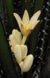 Curculigo seychellensis. Close-up. 2.jpg