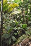 Palm dominated forest Vallée de Mai.