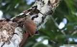 Grimpar cacaoCocoa WoodcreeperGamboa Rainforest Resort 11 janvier 2014