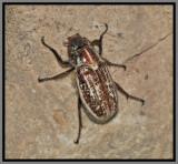 Scarab Beetle - Slender Polyphyllan Scarab Beetle (Polyphylla gracilis)