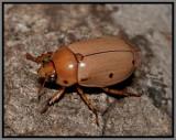 Scarab Beetle - Grapevine Beetle (Pelidnota punctata)