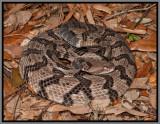Canebrake Rattlesnake (Crotalus horridus atricaudatus)