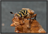 Scarab Beetle - Delta Flower Scarab (Trigonopeltastes delta)