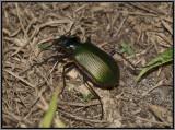 Carabidae Beetle - Fiery Searcher (Calosoma scrutator)