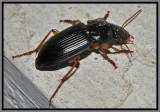 Ground Beetle (Harpalus pensylvanicus)