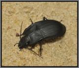 Ground Beetle (Dicaelus dilatatus)