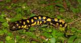 Eastern Tiger Salamander (Ambystoma tigrinum tigrinum)