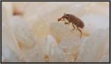 Weevil - Rice Weevil (Sitophilus oryzae)