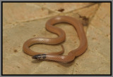 Peninsula Crowned Snake (Tantilla relicta relicta)