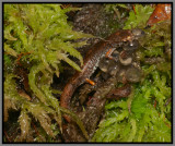 Four-toed Salamander (Hemidactylium scutatum)
