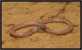 Southeastern Crowned Snake (Tantilla coronata)