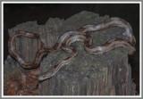 Gulf Hammock Intergrade Rat Snake