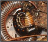 Glowworm Beetle Female (Phengodes) feeding on a Millipede (Narceus americanus)