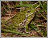 Barking Treefrog (Hyla gratiosa)