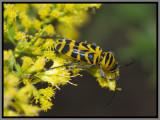 Cerambycid Beetles - Amorpha Borer (Megacyllene decora)