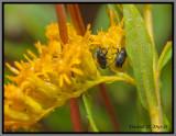 Weevil (Baris sp.)