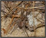 Wolf Spider (Hogna sp.)