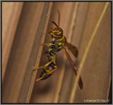 Guinea Wasp (Polistes sp.)