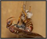 Paper Wasp (Polistes exclamans)