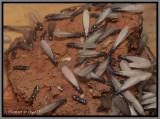 Eastern Subterranean Termite (Reticulitermes flavipes)
